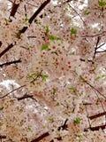 Körsbärsröda blomningar Arkivfoto