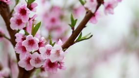 Körsbärsröda blomningar arkivfilmer