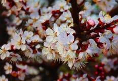 Körsbärsröda blomningar, blommor, vår, sommar, doft, träd, skönhet, dramatiska sikter, natur, knopp, saftigt, färgrikt som är ova royaltyfri bild