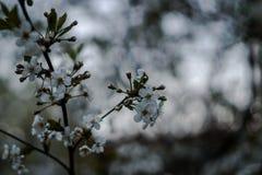Körsbärsröda blomningar Blomningträd blommar white arkivbilder