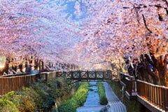 Körsbärsröda blomningar, busan stad i Sydkorea arkivbild