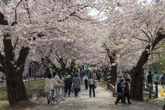 Körsbärsröda blomningar eller Sakura i Tenshochi parkerar, den Kitakami staden, Japan Arkivbild