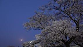 Körsbärsröda blomningar eller Sakura oavkortad blom med fåglar kvittrar på gryning lager videofilmer