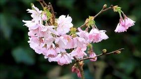 Körsbärsröda blomningar för Closeup på träd i vår arkivfilmer