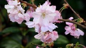 Körsbärsröda blomningar för Closeup på träd i vår stock video