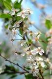 Körsbärsröda blomningar för filial på våren Fotografering för Bildbyråer