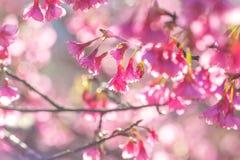Körsbärsröda blomningar för mjuk fokus eller Sakura blomma på naturbakgrund Arkivfoto