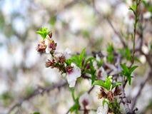 Körsbärsröda blomningar för vår, rosa färgblommor blå sky arkivfilmer