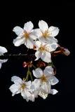 Körsbärsröda blomningar för vit vår på svart bakgrund Arkivfoton