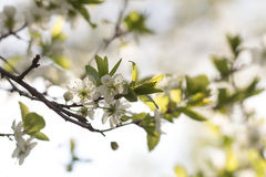 Körsbärsröda blomningar i inställningssolen royaltyfri bild