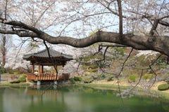 körsbärsröda blomningar i Korea Royaltyfria Bilder