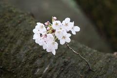 Körsbärsröda blomningar i mars Arkivbilder
