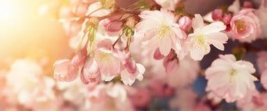 Körsbärsröda blomningar i retro-utformade färger Arkivbild