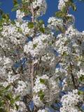 Körsbärsröda blomningar i solen arkivfoto