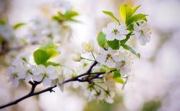 Körsbärsröda blomningar i trädgården Arkivbild