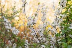 Körsbärsröda blomningar i trädgården Royaltyfri Bild