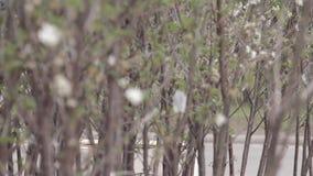 Körsbärsröda blomningar i vår lager videofilmer