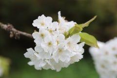 Körsbärsröda blomningar i vår arkivfoto