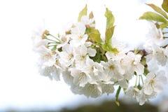 Körsbärsröda blomningar i vår royaltyfria foton