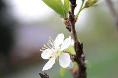 Körsbärsröda blomningar i vår arkivfoton