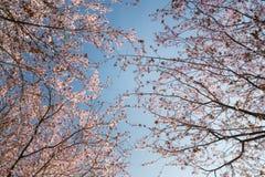 Körsbärsröda blomningar i vår Royaltyfri Fotografi