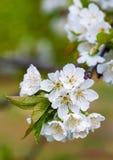Körsbärsröda blomningar i vår arkivbild