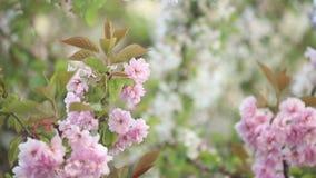 Körsbärsröda blomningar i vår arkivfilmer