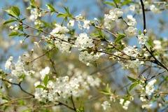 Körsbärsröda blomningar i vår Arkivbilder