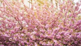 Körsbärsröda blomningar i vår royaltyfri foto