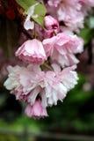Körsbärsröda blomningar i våren royaltyfria bilder