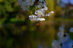 Körsbärsröda blomningar med biet Fotografering för Bildbyråer