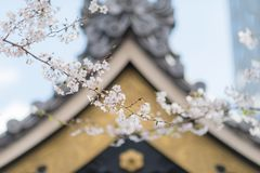 Körsbärsröda blomningar och en japansk Shintoistrelikskrin i bakgrunden vid en solig dag royaltyfri fotografi