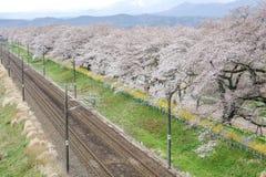 Körsbärsröda blomningar och järnvägar i Hitome Senbonzakurathousand körsbärsröda träd på sikt på den Shiroishi flodstranden som s Fotografering för Bildbyråer