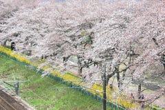 Körsbärsröda blomningar och järnvägar i Hitome Senbonzakurathousand körsbärsröda träd på sikt på den Shiroishi flodstranden som s Royaltyfria Foton