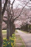 Körsbärsröda blomningar och pingstliljan i parkerar i Tokyo, Japan arkivfoton
