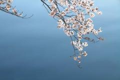 körsbärsröda blomningar och yttersida av den Ooka floden, Yokohama Royaltyfri Foto
