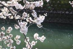 körsbärsröda blomningar och yttersida av den Ooka floden, Yokohama Arkivbild