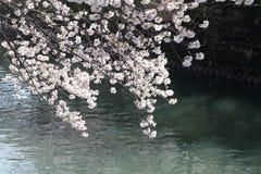 körsbärsröda blomningar och yttersida av den Ooka floden, Yokohama Royaltyfri Bild