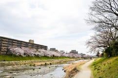 Körsbärsröda blomningar på banken längs den Takano floden, Kyoto, Japan Arkivbilder