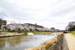 Körsbärsröda blomningar på banken längs den Takano floden, Kyoto, Japan Royaltyfri Bild