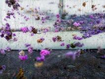 Körsbärsröda blomningar på en tegelstenvägg royaltyfria foton