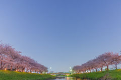 Körsbärsröda blomningar på natten Royaltyfri Bild