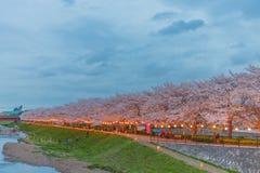 Körsbärsröda blomningar på natten Arkivbild