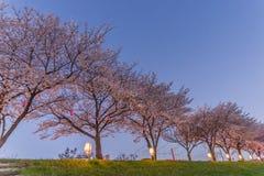Körsbärsröda blomningar på natten Royaltyfria Bilder