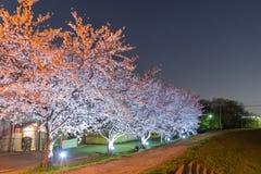 Körsbärsröda blomningar på natten Royaltyfria Foton
