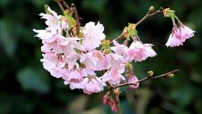 Körsbärsröda blomningar på träd i vår stock video