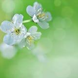 Körsbärsröda blomningar på trädet i vår Royaltyfri Fotografi