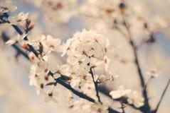 Körsbärsröda blomningar på våren Royaltyfri Bild