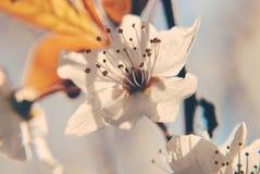 Körsbärsröda blomningar på våren Arkivfoto
