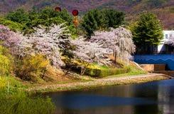Körsbärsröda blomningar, seoul Korea Arkivfoto